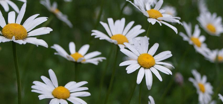 Beneficios de la manzanilla. Conoce las propiedades de esta planta maravillosa