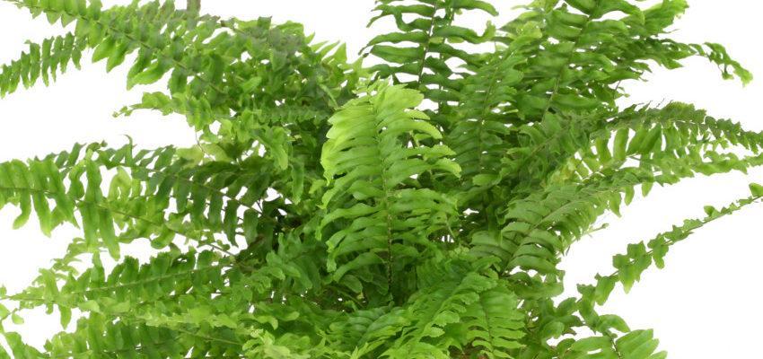 Helecho: Conoce los poderes mágicos de las plantas