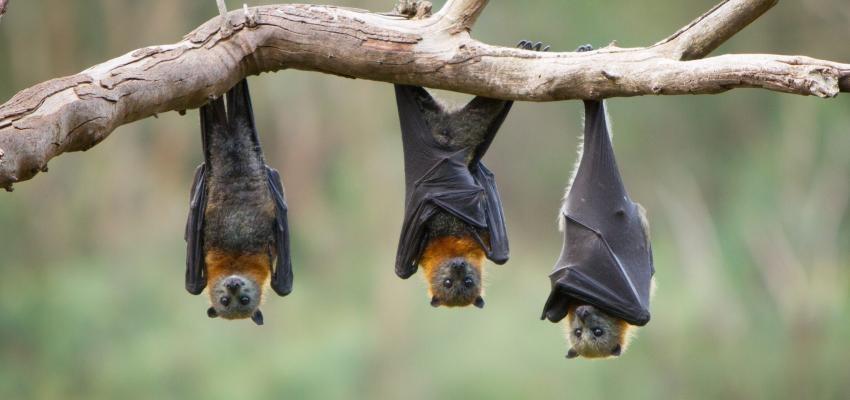 Horóscopo Maya: la determinación del murciélago