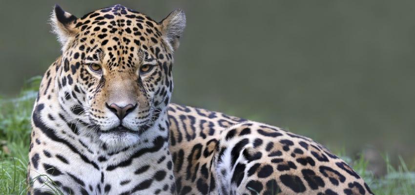 Horóscopo Maya: jaguar, el signo de la pasión