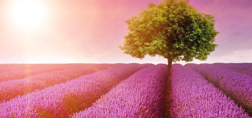 Cura tu cuerpo y espíritu con hierba de lavanda