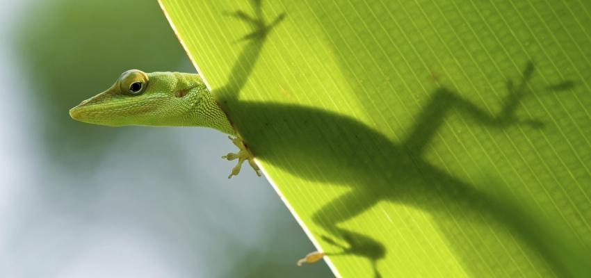 Horóscopo Maya: el orden y la energía del lagarto