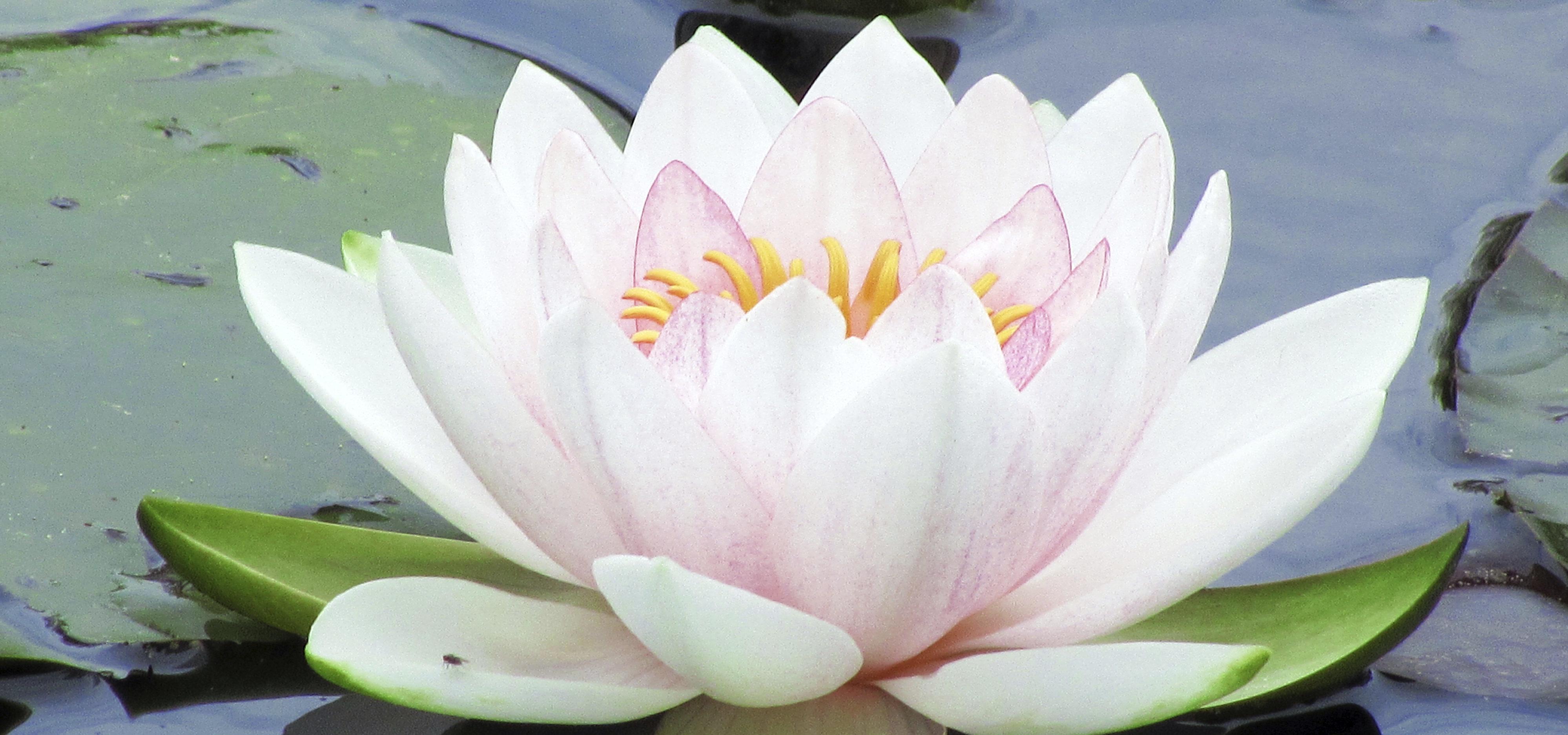 Significado de la Flor de Loto y sus diversos colores | WeMystic