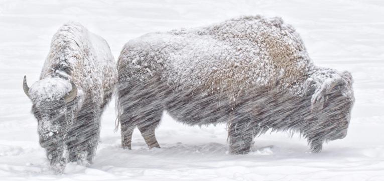 el búfalo o buey