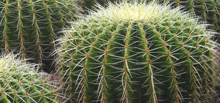 Plantas negativas para el hogar: Cactus