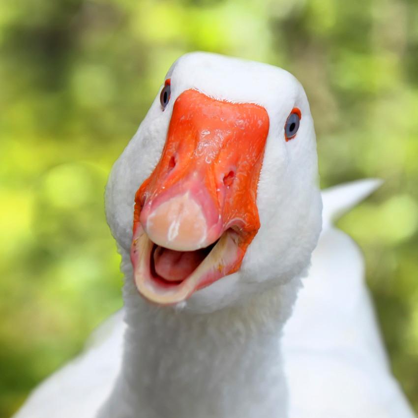 Horóscopo Chamánico: ganso