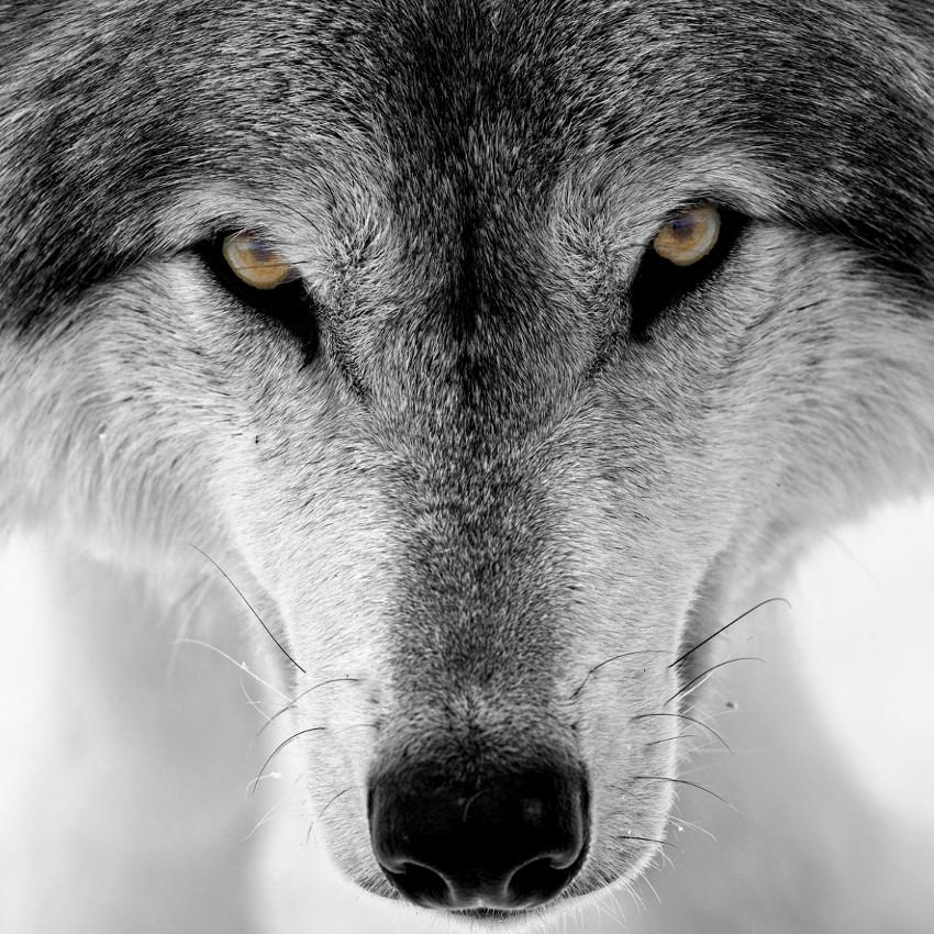 Horóscopo Chamánico: lobo