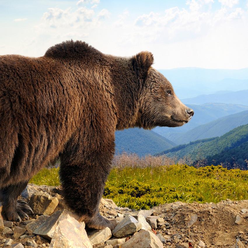 Oroscopo sciamanico: orso bruno