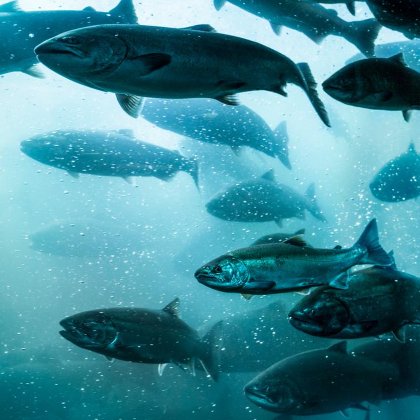 Oroscopo sciamanico: salmone